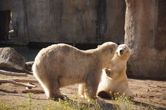 Polarbears in the zoo Stock Images