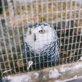 Polare Eule, welche die große weiße Eule in einem Käfig sitzt Eingesperrter Vogel Gelbe Augen und kluge Augen lizenzfreies stockbild