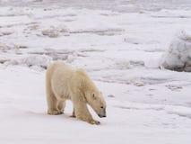 Polare lei-sopporti con i cubs Fotografia Stock Libera da Diritti