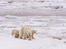 Polare lei-sopporti con i cubs Fotografie Stock