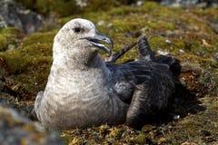 Polare Raubmöwesüdfrau verwandeln Licht, das auf den Eiern auf Th sitzt Stockfotos