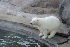 Polare riguarda lavato sul capodoglio Fotografie Stock Libere da Diritti