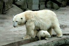 Polare riguardi la riva con il suo cucciolo Fotografia Stock