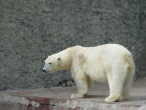 Polare Tragenfrau Lizenzfreies Stockfoto