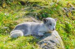 Polarer Fuchs, der auf einem Felsen sitzt Lizenzfreies Stockbild