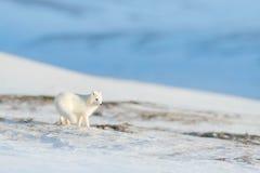 Polarer Fuchs im Lebensraum, Winterlandschaft, Svalbard, Norwegen Schönes Tier im Schnee Laufender Fuchs Actionszene der wild leb lizenzfreie stockbilder
