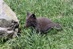 Polarer Fuchswelpe Stockfoto