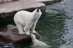 Polarer Siebär mit Jungem Stockfotos
