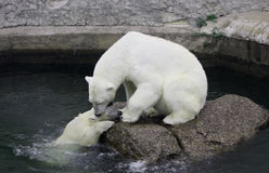 Polarer Siebär mit Jungem Lizenzfreie Stockfotos