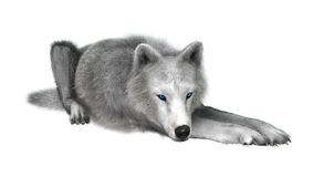 Polarer Wolf auf Weiß Lizenzfreies Stockbild