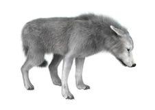 polarer Wolf der Illustrations-3D auf Weiß Stockbild