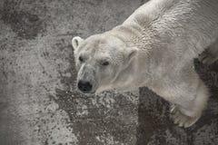 Polares Bear Stockbilder