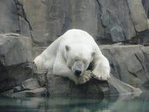 Polares Bear Lizenzfreies Stockbild