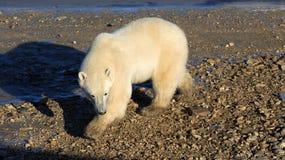 Polares Bear Stockfotografie