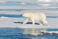 Polares Bear Stockfoto
