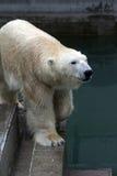 Polares Bear Lizenzfreie Stockfotografie
