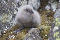 Polares Raubmöwesüdküken im Nest Stockbilder
