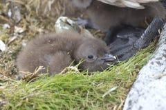 Polares Raubmöwesüdküken perdu im Nest nahe den Füßen eines adu Lizenzfreie Stockfotos