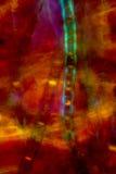 Polarizing micrograph of filamentous algae in pond water. Royalty Free Stock Photos
