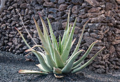 Polaroidübertragung des Kaktus Stockfoto