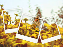 Polaroid collage. Of yellow flowers and butterfly Royalty Free Stock Photos