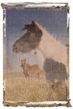 Polaroid transfer of horses. Black and white Polaroid transfer of black and white Falabella miniature horse with brown Falabella miniature horse iin background Stock Photography