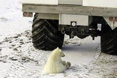 polart barn för björn royaltyfria bilder