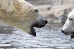 polart björnslagsmål Royaltyfri Fotografi