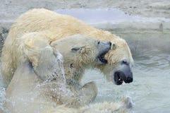 polart björnspelrum Arkivfoto