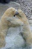 polart ståendedödläge för björn Arkivbild