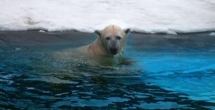 polart vatten för björn royaltyfri foto