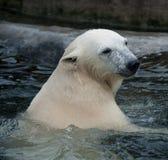 polart vatten för björn Royaltyfri Fotografi