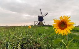 Polder landscape with one sunflower in the foreground. Polder landscape with a bright yellow blooming sunflower in the foreground and a hollow post mill in the royalty free stock photo