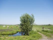 Polderlandschaft mit Baum und Kühen in der Wiese von Südholland in den Niederlanden Stockfotografie