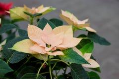 Pole żółci boże narodzenia gra główna rolę w szklarni dla sprzedaży Tło tekstury fotografia poinsecja kwitnie, euforbie zdjęcie royalty free