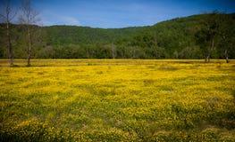 Pole żółci jaskierów kwiaty Fotografia Stock