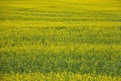 Pole żółci kwiaty Fotografia Royalty Free