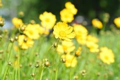 Pole żółci kwiaty Zdjęcie Royalty Free