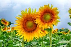 Pole żółci słoneczniki przeciw niebieskiemu niebu zdjęcie royalty free