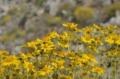 Pole Żółci Wildflowers w Pełnym kwiacie na Pustynnej podłoga Obraz Royalty Free