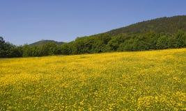 pole żółte kwiaty obraz stock