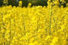 Pole żółty kwiatonośny oilseed gwałt odizolowywający na chmurnym niebieskim niebie w wiośnie Kwitnie canola, (Brassica napus) Zdjęcia Stock