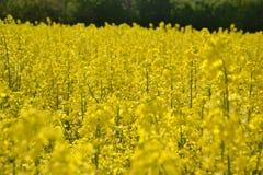 Pole żółty kwiatonośny oilseed gwałt odizolowywający na chmurnym niebieskim niebie w wiośnie Kwitnie canola, (Brassica napus) Fotografia Stock