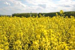 Pole żółty kwiatonośny oilseed gwałt odizolowywający na chmurnym niebieskim niebie w wiośnie Kwitnie canola, (Brassica napus) Fotografia Royalty Free