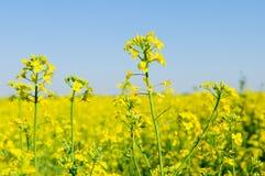 Pole żółty rapeseed Fotografia Stock