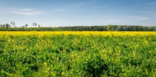 Pole żółty rapeseed kwitnie na lato dniu obrazy royalty free