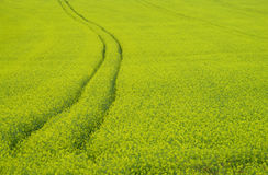 Pole żółty rapeseed rolnictwo Zdjęcie Stock