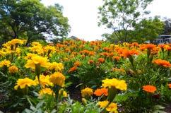 Pole żyły złota pomarańcze i kolor żółty kwitnie w lecie przy ogródem botanicznym Fotografia Stock
