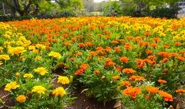 Pole żyły złota pomarańcze i kolor żółty kwitnie w lecie przy ogródem botanicznym Fotografia Royalty Free