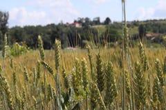 Pole żyto i jęczmień Maturation przyszłościowego żniwa Agrarny sektor rolniczy przemysł Rośliny gospodarstwo rolne Rosnąć obraz royalty free